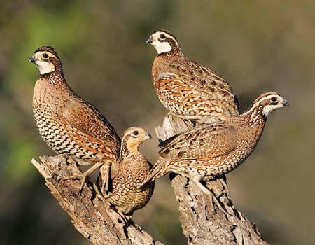 2-quail