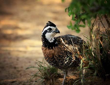 3-quail