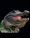 hunt alligator