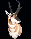 hunt antelope