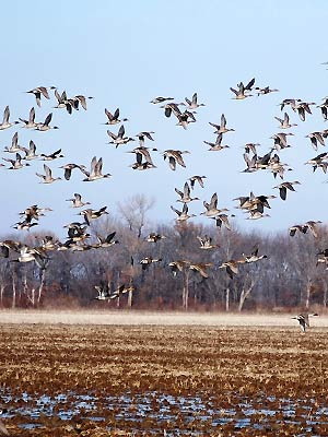 Arkansas is part of the central flyway and a top destination for duck hunters!