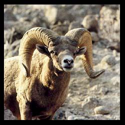 bighorn-sheep-hunts