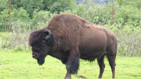 bison-hunting-guides-ranches
