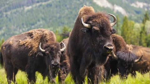 bison-hunting-ranches-outfitters