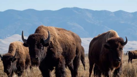 buffalo-hunting-guides-outfitters-1