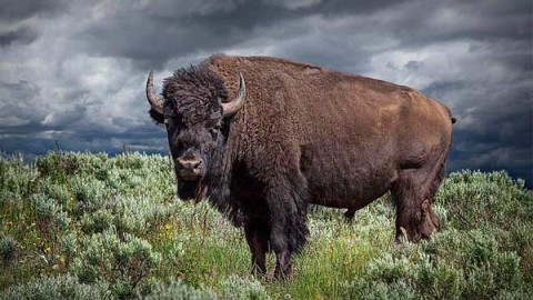 buffalo-hunting-outfitters-guides