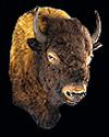 hunt buffalo