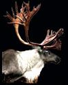 hunt caribou
