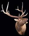 hunt elk