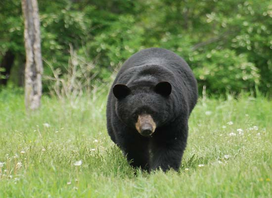 Maine Bear Hunting - Guides, Lodges, Outfitters