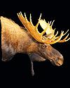 hunt moose