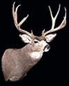 hunt mule-deer