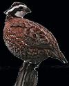 hunt quail