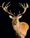 hunt red-stag