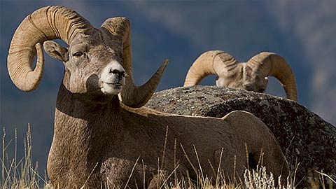 stock-sheep-2