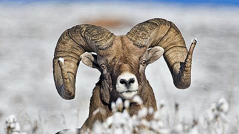 stock-sheep-3