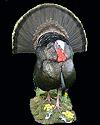 hunt turkey