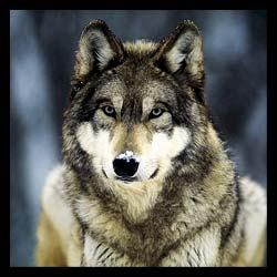 wolf-hunts