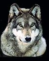hunt wolf