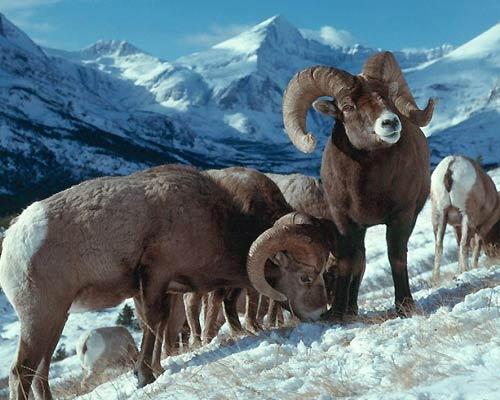 wyoming-big-horn-sheep