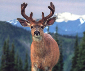 Blacktail Deer Hunting Outfitters & Guides